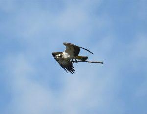 osprey_stick